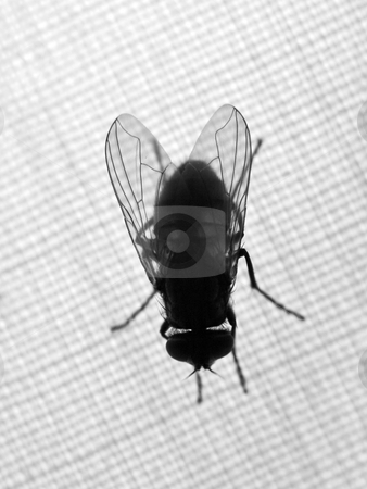 Housefly stock photo, Housefly  on piece of fabric backlit by Laurent Dambies