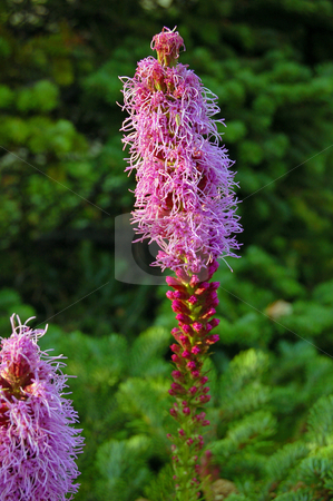 Liatris punctata stock photo, Liatris punctata flowers in sunset light in green grass background by Pavel Cheiko