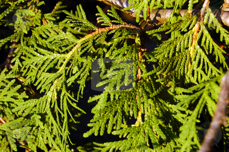 Cedar stock photo, Branches of evergreen tree. by Pavel Cheiko