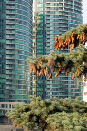 Spruce tree stock photo, Spruce tree with cones in Toronto downtown by Pavel Cheiko