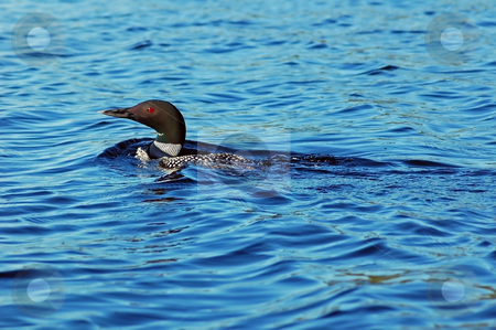 Common loon stock photo, Common loon in blue water of north lake. Immer gavia by Pavel Cheiko