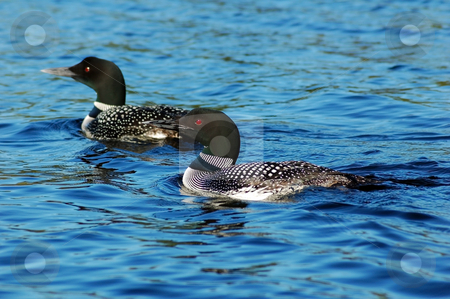 Common loon stock photo, Common loon in blue water of north lake by Pavel Cheiko