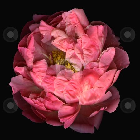 Awakening stock photo, Blooming pink peony flower isolated on black background by Christian Slanec