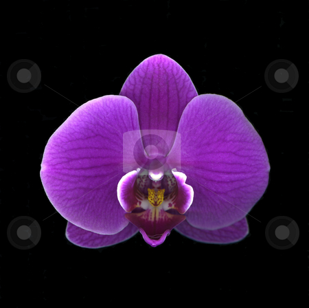 Purple Orchid stock photo, Detailed close-up of vibrant purple orchid isolated on black background by Christian Slanec