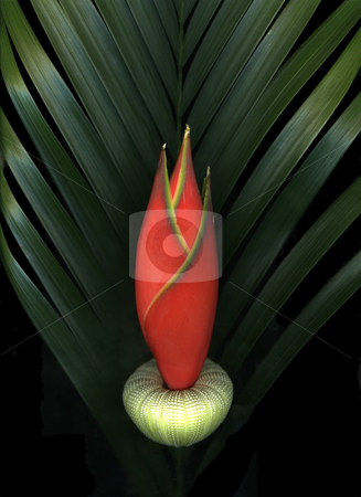 Palm Of Fire stock photo, Exotic beach theme still life isolated on black background by Christian Slanec