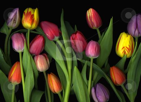 Tulip Arrangement stock photo, Arrangement of many colorful vibrant tulips on black background by Christian Slanec