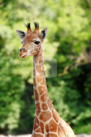 Giraffe stock photo, Baby giraffe portrait over blur green background by Julija Sapic