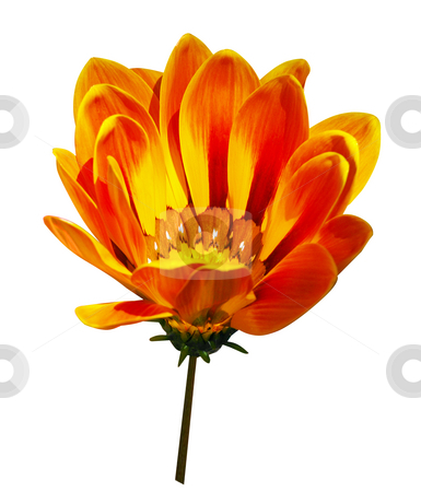Orange Gazania stock photo, Orange Gazania isolated with clipping path. by Margo Harrison