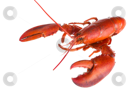 Lobster on white stock photo, Close up of a cooked lobster on white by Steve Mcsweeny