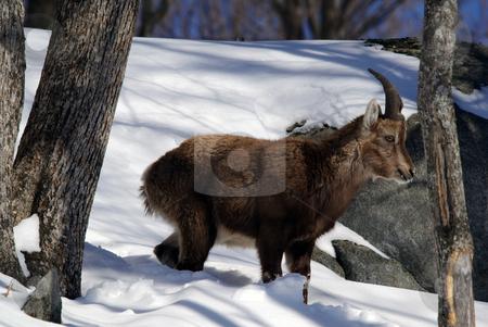Alpine Ibex stock photo, Alpine Ibex in Winter by Alain Turgeon