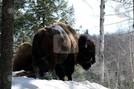 Bison stock photo, Wild Bison in Winter by Alain Turgeon