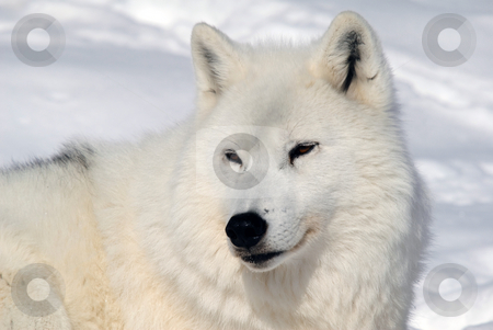 Arctic Wolf stock photo, Arctic wolf in Winter by Alain Turgeon