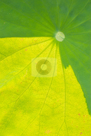 Contrast color on the leaf of waterlily stock photo, Natural contrast color on the leaf of waterlily by Lawren