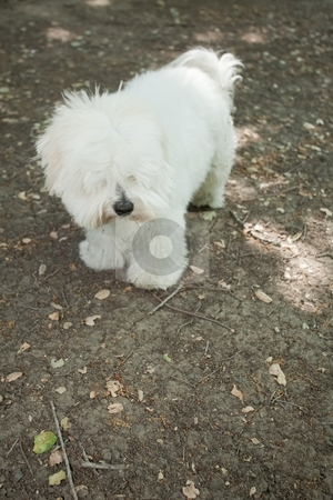 Coton de Tulear stock photo, Coton de Tul?ar is a small breed of dog. It is named after the city of Tulear in Madagascar, and for its cottony textured coat by Mariusz Jurgielewicz
