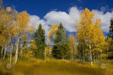 Fall Colors stock photo, Aspen and pinetrees showing fall colors by Mark Smith