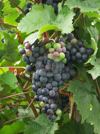 Grapes stock photo, Bunches of ripen grapes in autumn by Birgit Reitz-Hofmann