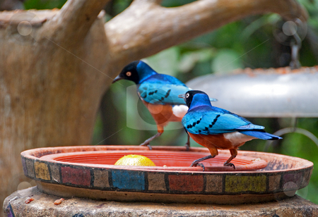 Blue birds feeding stock photo, A pair of blue birds at jurong park in singapore by Shi Liu