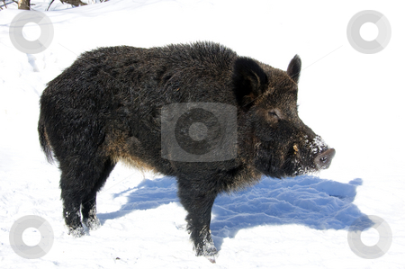 Wild Boar stock photo, Wild Boar in winter by Alain Turgeon