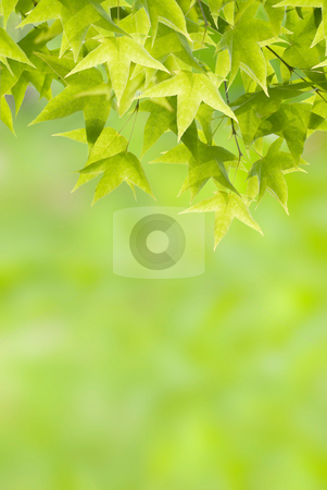 Newborn green Leaves stock photo, Newborn green Leaves, new maple leaves in spring. by Lawren