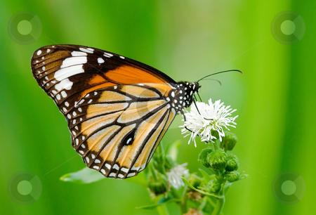 Butterfly feeding stock photo, Butterfly feeding on white flower by Lawren