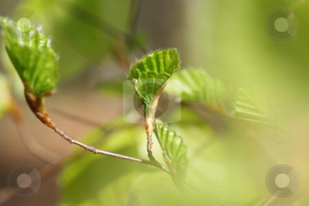 Alder stock photo, Alder's branch with green leaf by Jolanta Dabrowska