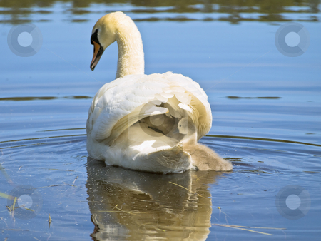 Swan family stock photo, Swimming swan with two baby-swans at the lake by Sergej Razvodovskij