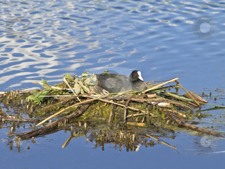 Black coot stock photo, Black coot on the nest at the lake by Sergej Razvodovskij