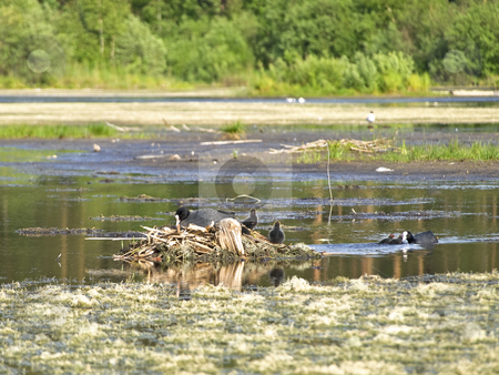 Coots stock photo, Coot family with chicks on the middle of the bog by Sergej Razvodovskij