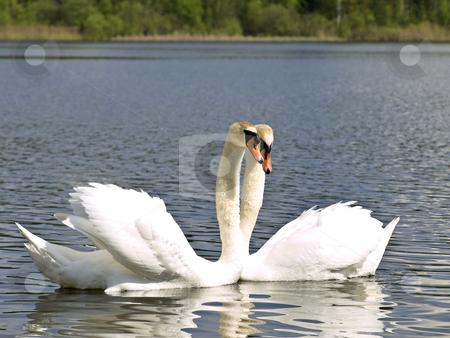 Swan love stock photo, Two white swans at the blue lake by Sergej Razvodovskij
