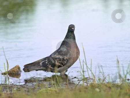Dove stock photo, Single dove standing in the lake water by Sergej Razvodovskij