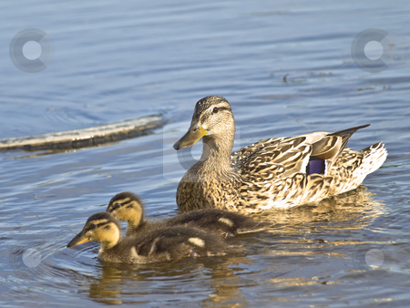 Duck and two ducklings  stock photo, Mother duck and two little ducklings at the blue water by Sergej Razvodovskij