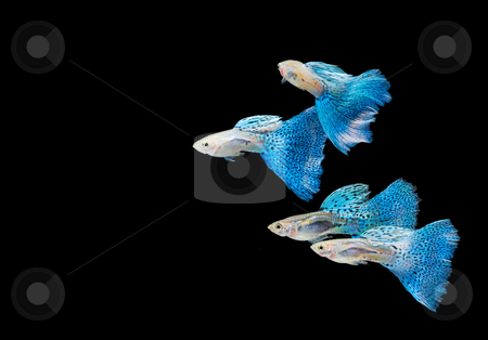 Swimming blue guppy, tropical fish pet stock photo, Swimming blue guppy, tropical fish pet by Lawren