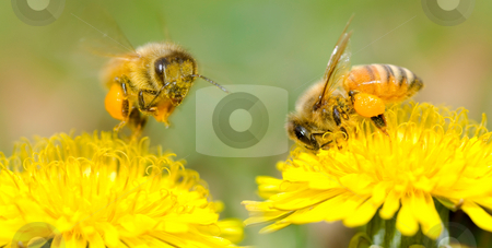 Two Bees and dandelion flower stock photo, Two Bees and dandelion flower, series of dandelion. by Lawren