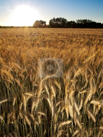 Golden wheat field stock photo, Golden wheat field in summer  at sunset by Laurent Dambies