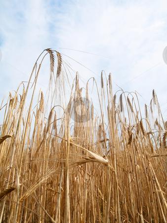Golden wheat field stock photo, Golden wheat field under cloudy sky by Laurent Dambies