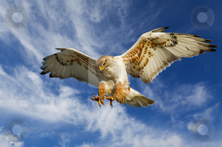 Ferruginous attack stock photo, Large Ferruginous Hawk in attack mode with blue sky by Steve Mcsweeny