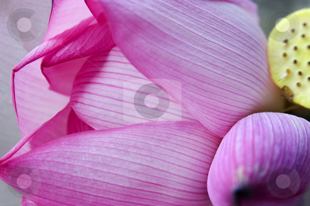 Pink Lotus Petal Bud Hong Kong Flower Market stock photo, Pink Lotus Petal Bud Close Up Macro Hong Kong Flower Market by William Perry