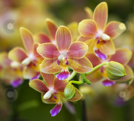 Pink Yellow Spotted Orchids Hong Kong Flower Market stock photo, Pink Yellow Spotted Orchids Close Up Macro Hong Kong Flower Market by William Perry
