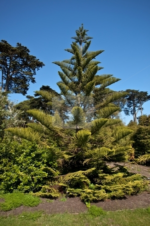 Norfolk Island Pine stock photo, Norfolk Island Pine (Araucaria heterophylla) is a distinctive conifer, a member of the ancient and now disjointly distributed family Araucariaceae. by Mariusz Jurgielewicz