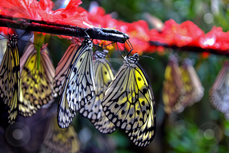 Hanging Paper Kite Butterflies stock photo, Paper Kite Butterflies hanging from a branch in Penang malaysia by Robert Ford