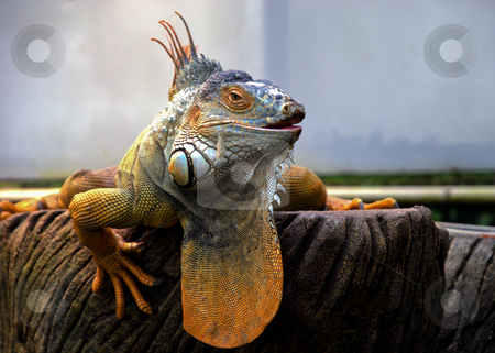 Orange Iguana stock photo, Dominant Iguana basking on bark in captivity by Robert Ford