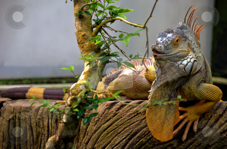 Iguana and green foliage stock photo, Orange Iguana ready to feed on foliage of a branch by Robert Ford