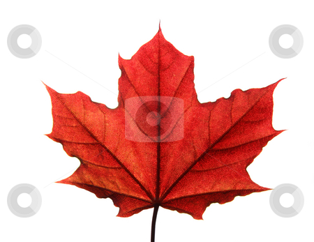 Red leaf backlit with work path stock photo, Red autumn leaf isolated on white background with workpath by Alexandru Cristian Ciobanu