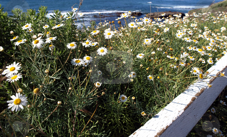 Daisy meadow by the pacific ocean stock photo, A field of blooming daisies and weathered fence along the pacific coast by Jill Reid