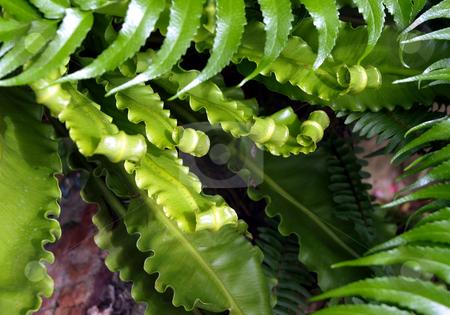 Green ferns unfurling new growth stock photo, Close-up of green furns unfurling their new growth by Jill Reid