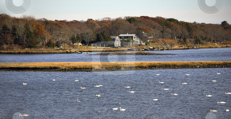 Snow Geese in Russells Mills, Dartmouth, Massachusetts stock photo, Snow Geese and Swans in Russells Mills River, Dartmouth, Massachusetts by William Perry