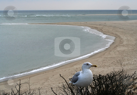 Seagull, Chatham Beach, Cape Cod, Massachusetts stock photo, Seagull, Chatham Beach, Cape Cod, Massachusetts Winter by William Perry