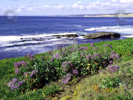 Lilac flower meadow along the Pacific ocean stock photo, Hillside of lilac flowers along the Pacific coast by Jill Reid