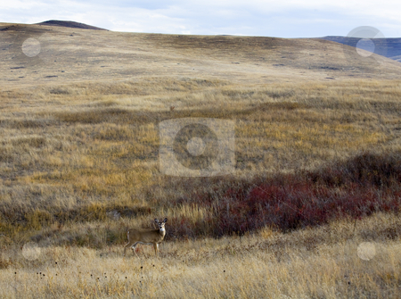 White Tail Deer Against Hill National Bison Range Charlo Montana stock photo, White Tail Deer Against Hill With Fall Colors Landscape National Bison Range Charlo Montana by William Perry