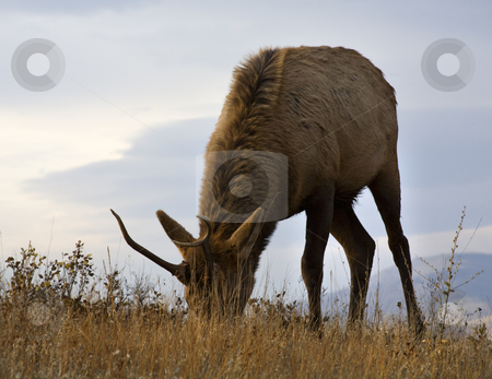 Young Male Elk Grazing Close Up National Bison Range Charlo Mont stock photo, Young Male Elk with Horns Grazing Eating Grass Close Up National Bison Range Charlo Montana by William Perry